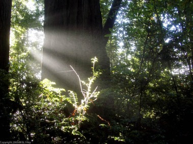 beams-of-sunlight-redwood-national-park.jpg
